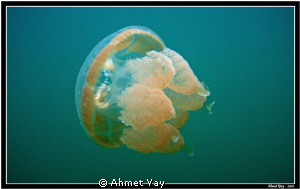 Second jellyfish from Palau by Ahmet Yay 